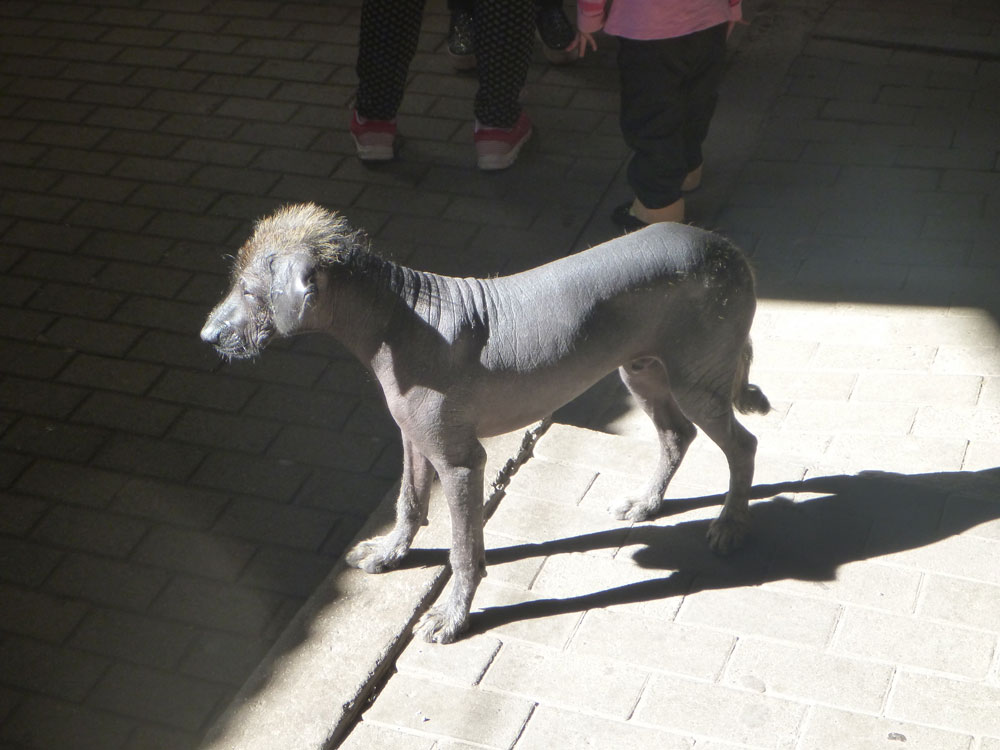 Hairless Dog Aguas Calientes Peru